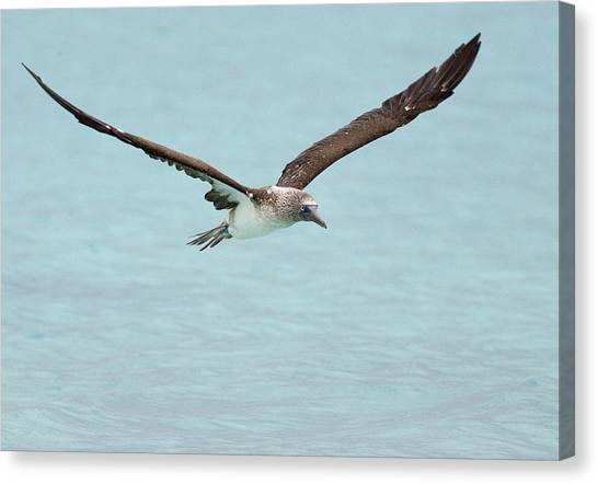 Blue-footed Booby In Flight Canvas Print