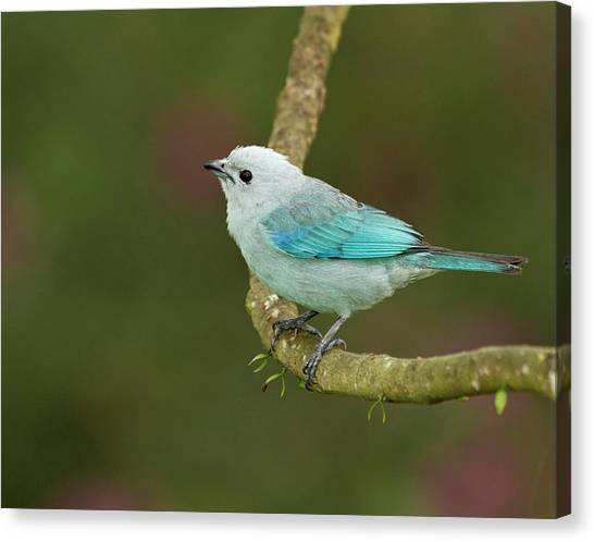 Belize Canvas Print - Blue-grey Tanager (thraupis Episcopus by William Sutton
