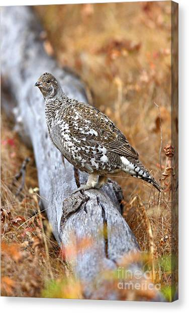 Blue Grouse Hen Canvas Print