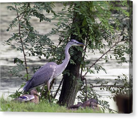 Blue Heron And Duck Canvas Print