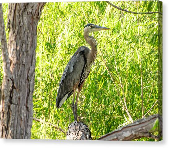 Blue Heron At Rest Canvas Print