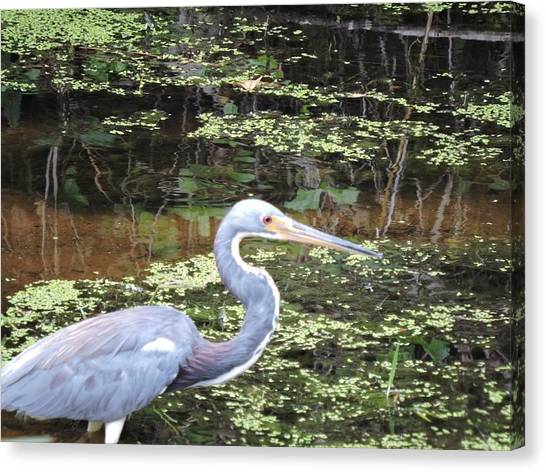 Blue Heron Close Up Canvas Print by Beth Williams