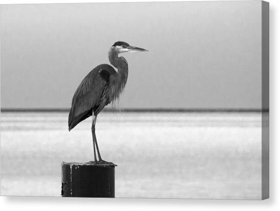 Blue Heron On Post Canvas Print
