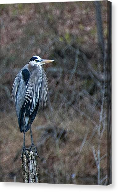 Blue Heron On Stump Canvas Print by Bill Perry
