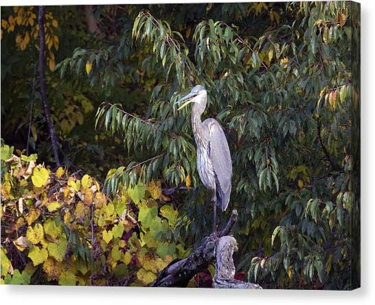 Blue Heron Perched In Tree Canvas Print