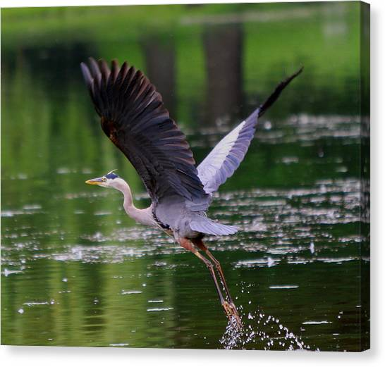 Blue Heron Takeing Off Canvas Print by Edward Kocienski