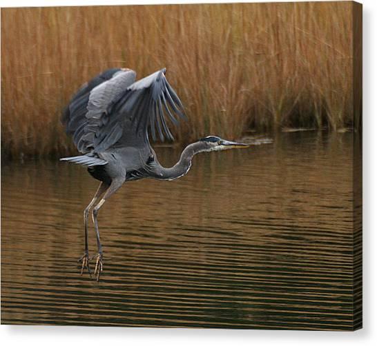 Blue Heron Takes Flight Canvas Print