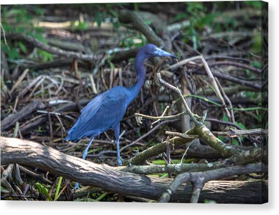 Little Blue Heron On The Banks Of An Atchafalya Bayou Canvas Print