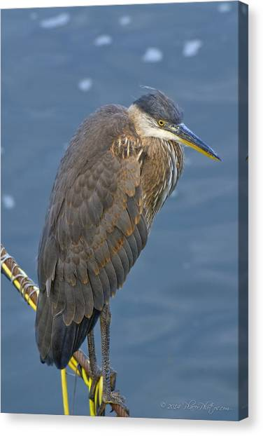Blue Herron Canvas Print