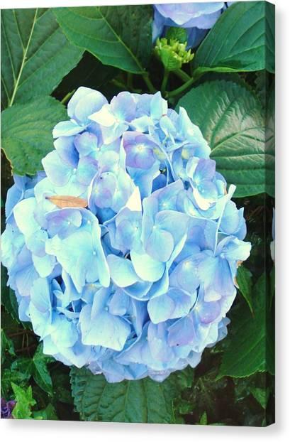 Blue Hydrangea Canvas Print by Van Ness