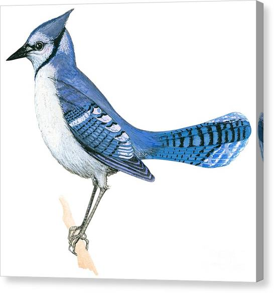 Bluejays Canvas Print - Blue Jay  by Anonymous