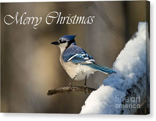 Blue Jay Christmas Card 2 Canvas Print