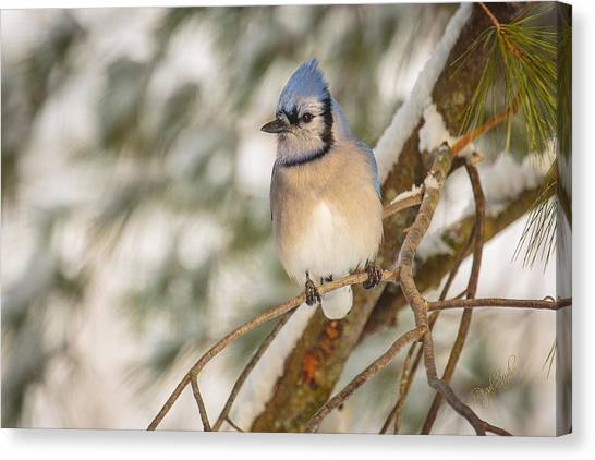 Bluejays Canvas Print - Blue Jay by Everet Regal