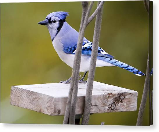 Blue Jay In Profile Canvas Print by Ricky L Jones