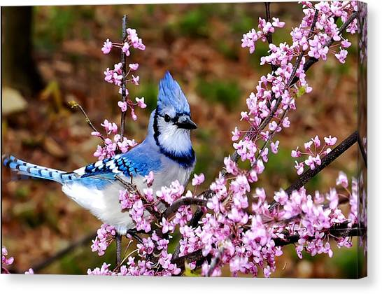 Blue Jay In The Pink Canvas Print