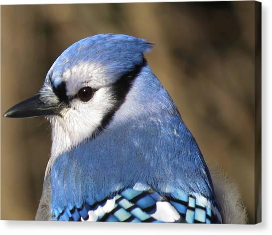 Blue Jay Profile Canvas Print