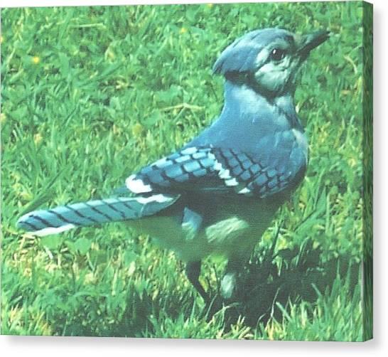 Blue Jay Canvas Print by Rosalie Klidies