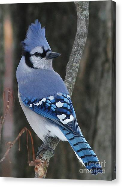 Blue Jay Winter Canvas Print