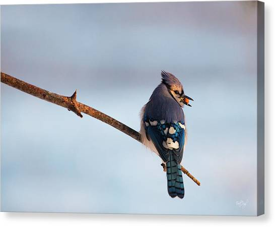 Bluejays Canvas Print - Blue Jay With Nuts by Everet Regal