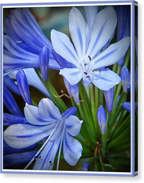 Blue Lilie Canvas Print