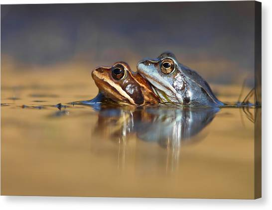 Frogs Canvas Print - Blue Love ... Mating Moor Frogs  by Roeselien Raimond