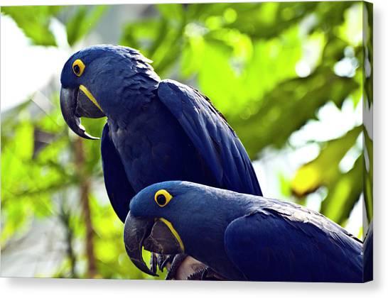 Blue Macaws Canvas Print by Ray Sandusky / Brentwood, Tn