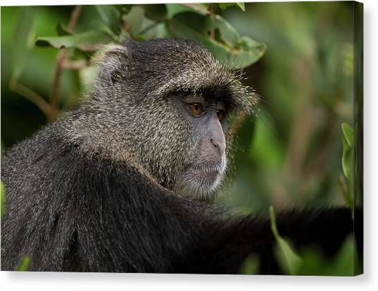 Omnivore Canvas Print - Blue Monkey Cercopithecus Mitis by Photostock-israel