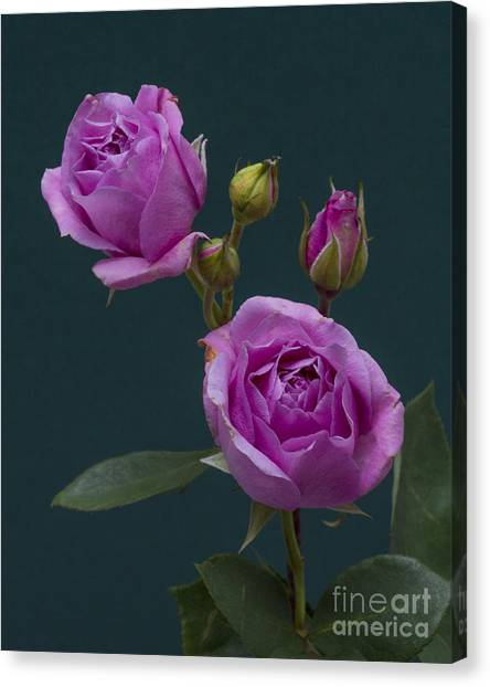 Blue Moon Roses Canvas Print