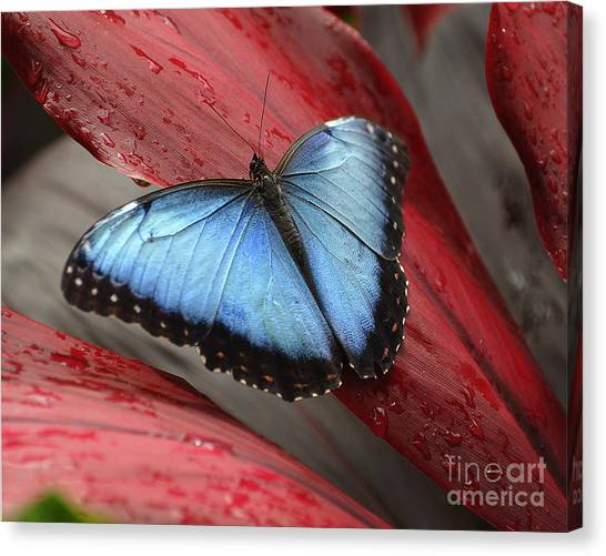 Blue Morpho 2 Canvas Print