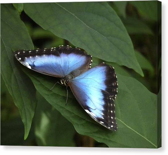Blue Morpho Butterfly I. Canvas Print