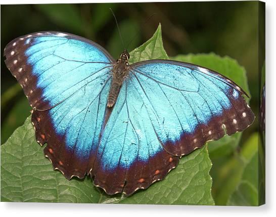 Belize Canvas Print - Blue Morpho (morpho by William Sutton