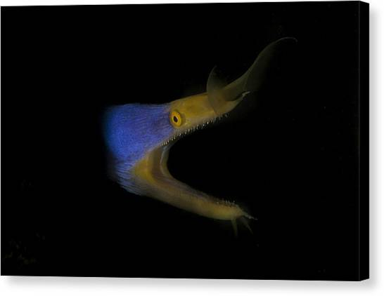 Blue Ribbon Eel Canvas Print