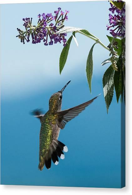Blue Ridge Hummingbird Canvas Print