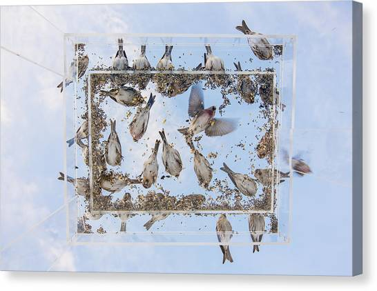 Crossbills Canvas Print - Blue Skies Above The Bird Feeder by Tim Grams