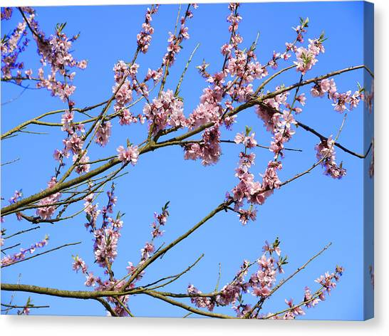 Blue Sky And Pink Blossom. Canvas Print