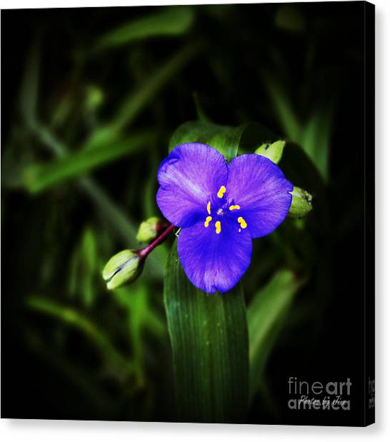 Blue Spiderwort  Canvas Print by Jinx Farmer