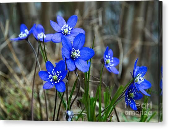 Blue Springtime Canvas Print