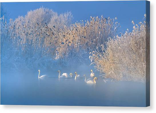 Swan Canvas Print - Blue Swan Lake by Hua Zhu