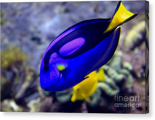 Blue Tang Dory Canvas Print