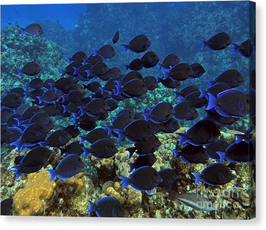 Coral Reefs Canvas Print - Blue Tangs by Carey Chen