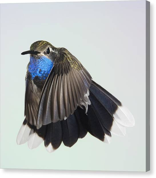 Blue Throated Hummingbird Canvas Print