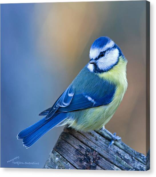Blue Tit Looking Behind Canvas Print