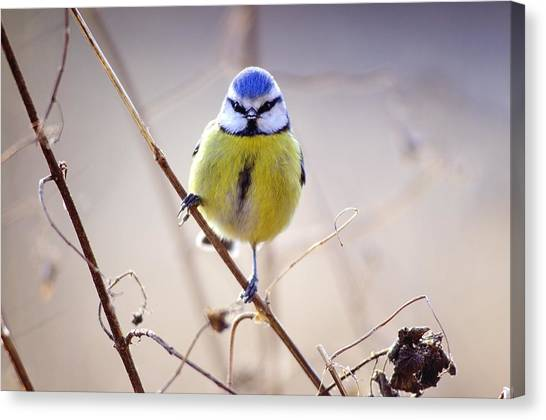 Blue Tit Canvas Print by Science Photo Library