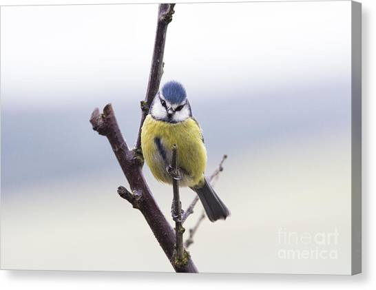 Titmice Canvas Print - Blue Tit by Tim Gainey