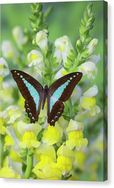 Snapdragons Canvas Print - Blue Triangle Butterfly, Graphium by Darrell Gulin