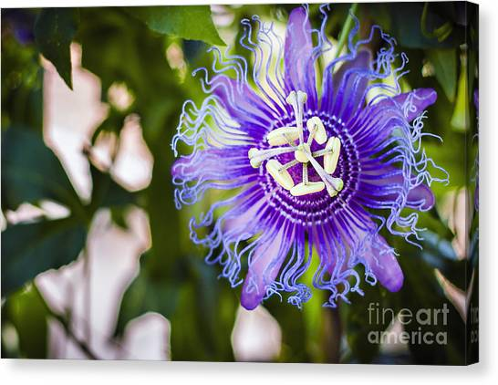 Blue Violet Canvas Print by Lacie Oakey