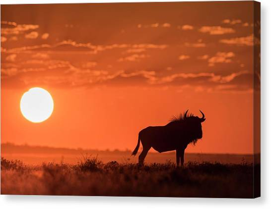 Blue Wildebeest At Dusk Canvas Print by Tony Camacho/science Photo Library
