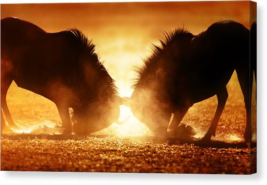 South Africa Canvas Print - Blue Wildebeest Dual In Dust by Johan Swanepoel