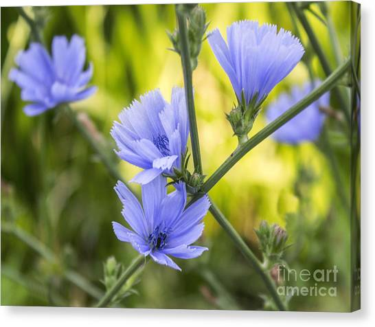 Blue Wildflwer Canvas Print
