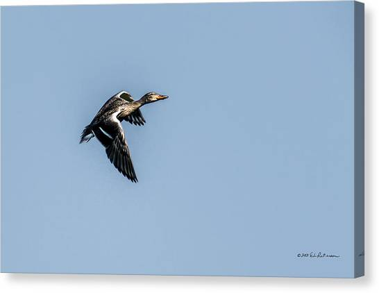 Canvas Print featuring the photograph Blue-winged Teal In Flight by Edward Peterson